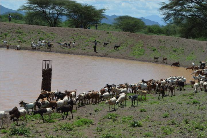 Livestock at Naipen water pan in Saimo soi ward, Baringo North sub county.